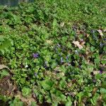 Viola odorata am Weg hinter den Kleingärten