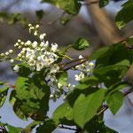 Prunus padus - Blütenstand (Foto: Wehr)