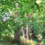 Alte Rotbuchen am Uferweg