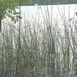 Teichsimse - Röhrichtgesellschaft, zur Blüte im Juli