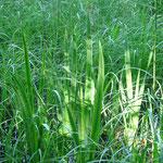 Sumpfschwertlilien vor der Blüte Mitte Mai, Feuchtbiotop im nördlichen Parkbereich