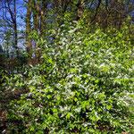 Prunus padus zur Blüte im April (Foto: Wehr)