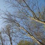 Populus alba - jüngere schlanke Bäume im März mit typischer silbrig-glatter Rinde im südlichen Parkbereich