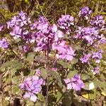 Lunaria annua zur Blüte Anfang Mai