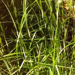 Hainrispengras mit Befall durch den Schlauchpilz (Ascomycet) Epichloe typhina (weiße Scheiden), Mai 2017, insbesondere am Eierberg