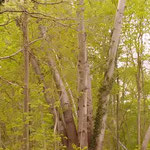 Populus alba - ältere Exemplare hinter den Kleingärten