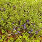 Vinca major - gepflanzt oder verwildert - vor den Kleingärten