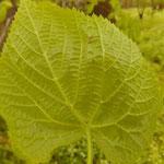 Tilia platyphyllos - Blattunterseite - behaarter Blattstiel und weiße Achselbüschel unterscheiden die Sommer- von der Winterlinde