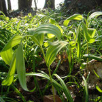 Polygonatum spec. vor der Blüte im April