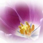 Tulpenblüte Pink