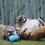 Tigerbaby Kai