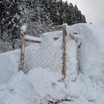 予想された範囲ではありましたが、ご覧の通り、除雪で埋められてますが、多分元気だと思います。