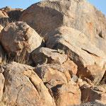 Damans des rochers. son étude fossile et anatomique prouve qu'il aurait comme parents proches les éléphants