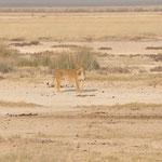 Elle attend un troupeau de zèbres qui est à 100m