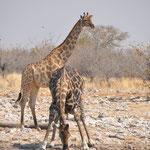 C'est un moment délicat pour la girafe car elle est vulnérable