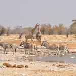 Zebres et Girafes au point d'au