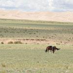 Chevaux dans le désert de Gobi