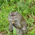 Macaques cherchant à manger. Ils étaient au bord de la route