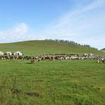 Le campement, et le troupeau dans sa totalité : 200 têtes de bétail réparties entre les chevaux, les yacks, les moutons et les chèvres cachemires