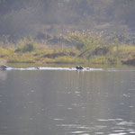 Des hippos
