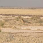 Effectivement non loin de là 2 lionnes  accompagnées d'un jeune mâle étaient en train de chasser