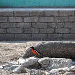 L'oiseau du Stade Toulousain