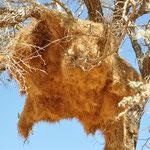 Ce nid de tisserands contrairement à l'autre est habité