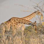 Girafrfes