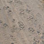 Des traces de lions. Nous sommes près du point d'eau de Salvadora