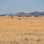 l'Oryx est la plus grande des antilopes