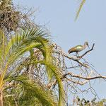 Un ibis argenté