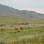 Nous avons eu une chance énorme : 8 chevaux dont un poulain et un étalon sont passés à 10 mètres de nous. C'est rare de les voir aussi près.