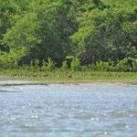 Des ibis rouges