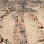 L'absence de racines et de branches résiduelles laisse supposer qu'ils ont été déposés là lors d'une crue importante.
