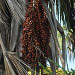 Fruits du Palmier