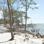 Mangrove au bord de l'Océan