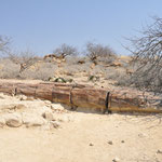 Le site de la forêt pétrifiée. Ces arbres appartenaient à une ancienne famille de conifère appelée gymnospermae, qui comprend les plantes actuelles telles que les cycas et les welwitschias