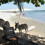 Les ânes en liberté aiment venir rendre visite aux touristes sur la plage, ou au bar