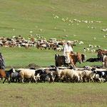 Toute la famille aide à rassembler le troupeau