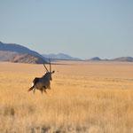 Cet Oryx a déboulé juste devant notre voiture
