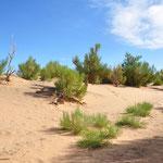 Ces arbres sont des saxaouls. Ce sont les seuls à pouvoir vivre dans le désert grâce à leurs longues racines pour puiser l'eau en profondeur.