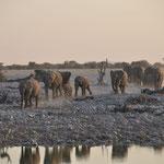 Les éléphants s'approchent du point d'eau d'Okaukuejo. Il est 18h15