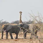 Une girafe aussi !!!