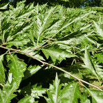 Zweigpartie mit Blättern und Knospenschuppen, Foto HK.; Aufnahme-Datum: 21.05.2018