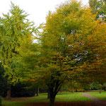 Herbstfärbung, Schräger Wuchs durch Beeinflussung anderer Bäume, Foto HK.; Aufnahme-Datum: 05.11.2017