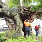 8:39 Uhr, Baumkontrolle durch die ausführende Firma. Suche nach Fledermäusen in Astlöchern.