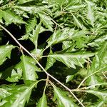 Zweigpartie mit Blättern und Knospenschuppen,Foto HK.; Aufnahme-Datum:21.05.2018