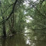 Katerstede Welsum; voorjaarshoogwater in ooibos (juni 2016)