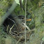 20120401Amsel im Nest Haspe Quambusch