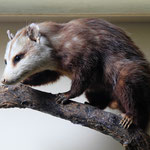 Amerikanisches Opossum